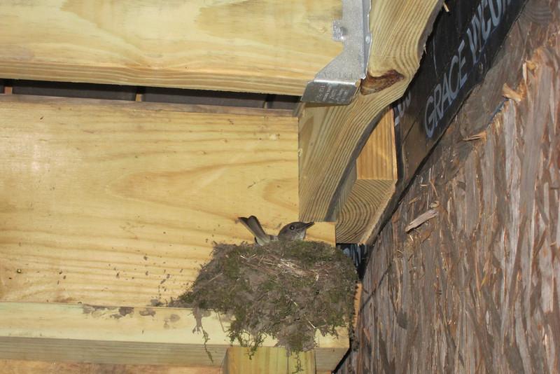Phoebes Nest