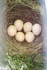 Phoebes Nest Eggs