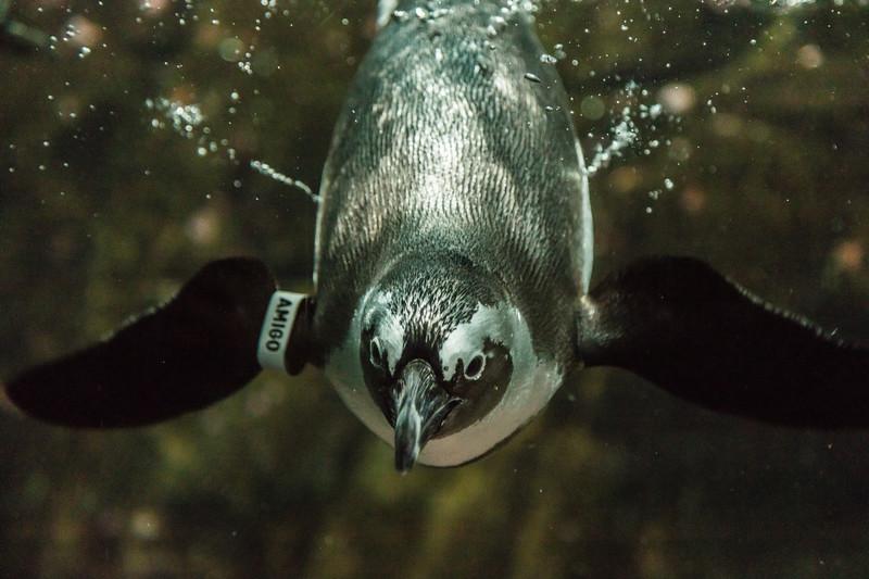 """Penguin """"Amigo"""""""
