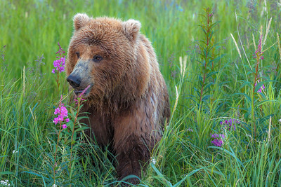 Grizzly bear, Brooks Falls. Katmai National Park, Alaska, USA.