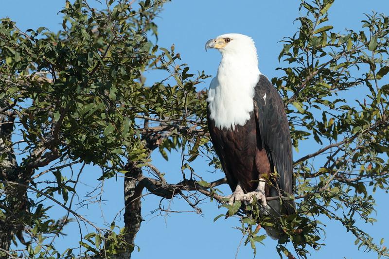 Pygargue vocifère - <i>Haliaeetus vocifer</i> - African Fish Eagle