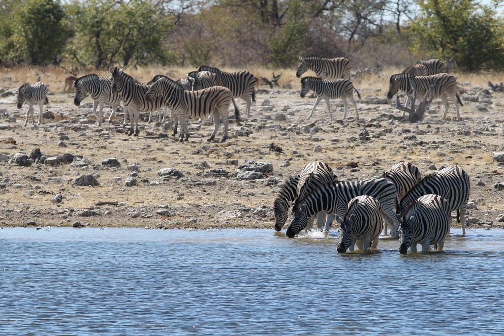 Zèbre des plaines - <i>Equus quagga</i> - Plains Zebra <br>Etosha NP, Namibia