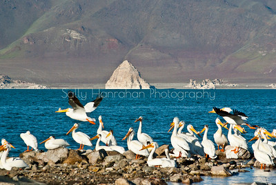Pelicans and Pyramid Lake