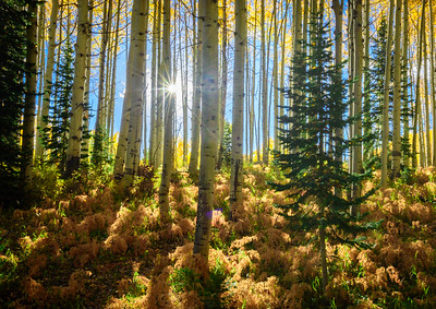 Aspen Forest by Phyllis Peterson