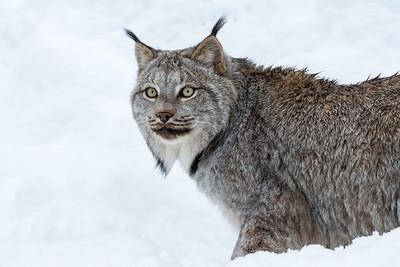 Lynx in Snow  by Deede Denton