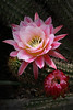 A_DeniseGreer_PinkEchinopsis