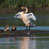 Swan Friends