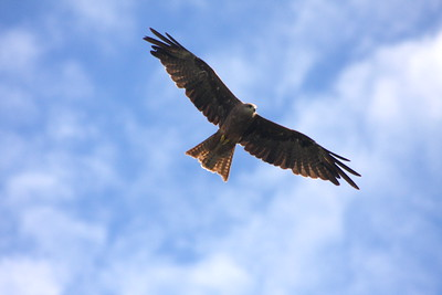 Square-Tailed Kite on the Hunt