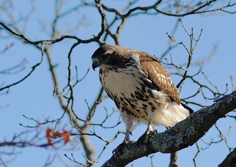 Greenwich Audubon Nov 13 2016 (12)