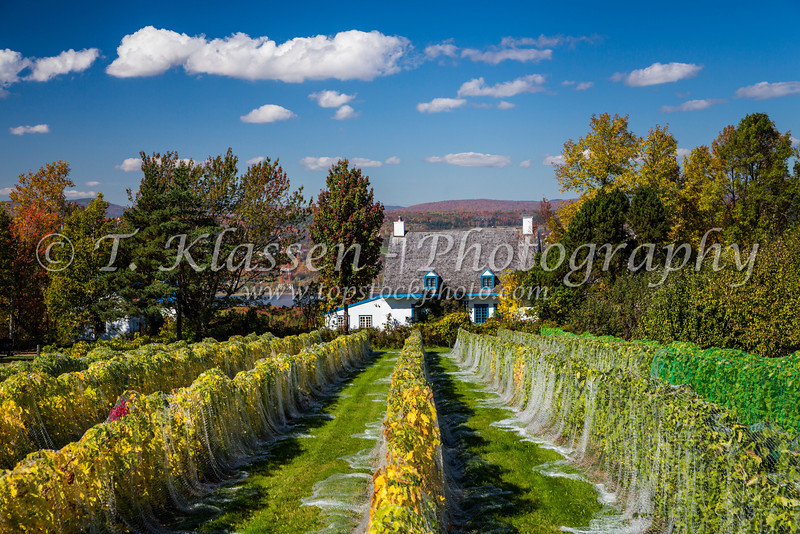 A vineyard on the island of Ile d'Orleans, Quebec, Canada.