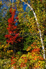 Fall foliage color in the maple trees near Mont-Tremblant, Quebec, Canada.
