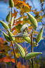 Closeup of  seed pods of the milkweed plant in Mont-Orford National Park, Orford, Quebec, Canada.