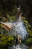 Closeup of bursting seed pods of the milkweed plant in Mont-Orford National Park, Orford, Quebec, Canada.