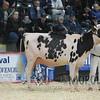 Quebec_Spring_Snr_Holstein_Show_2016_L32A9029