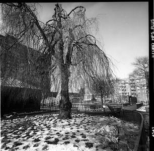 Weeping Beech Tree