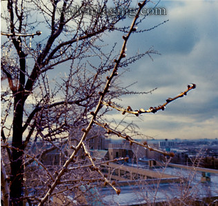 January 1974 ice storm. View looking South, Gingko tree and Flushing High School in background.