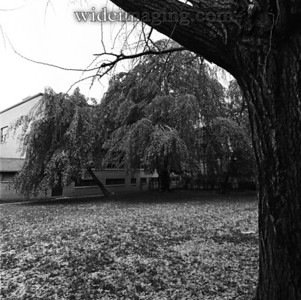 Weeping Beech tree on Flushing High School campus, from October 1973. The tree was cut down around 1995 but the off shoots remain.