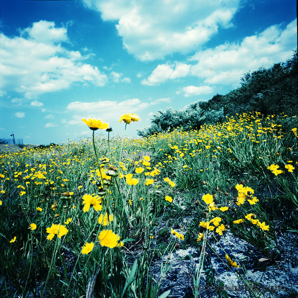 Wild flowers and pines were planted to prevent erosion. Parts of Fort Tilden fencing and road light can be seen in the background.