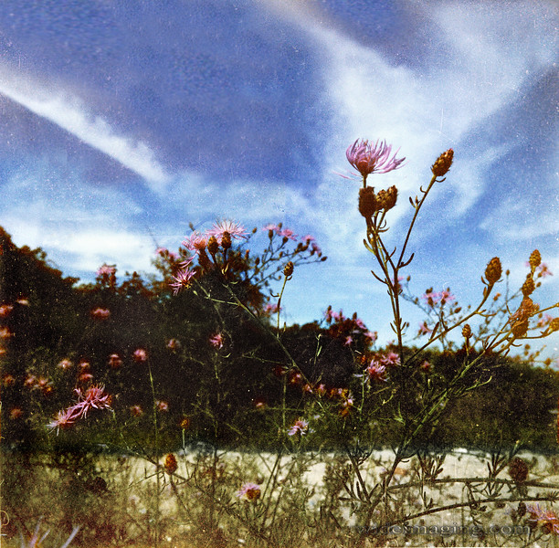 Wild flowers prevent erosion of the dunes in the background.