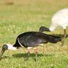 Straw-necked Ibis (Threskiornis spinicollis)