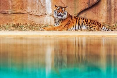 AZ 06 Bengal Tiger