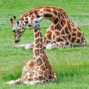 SC 36 Giraffe Love