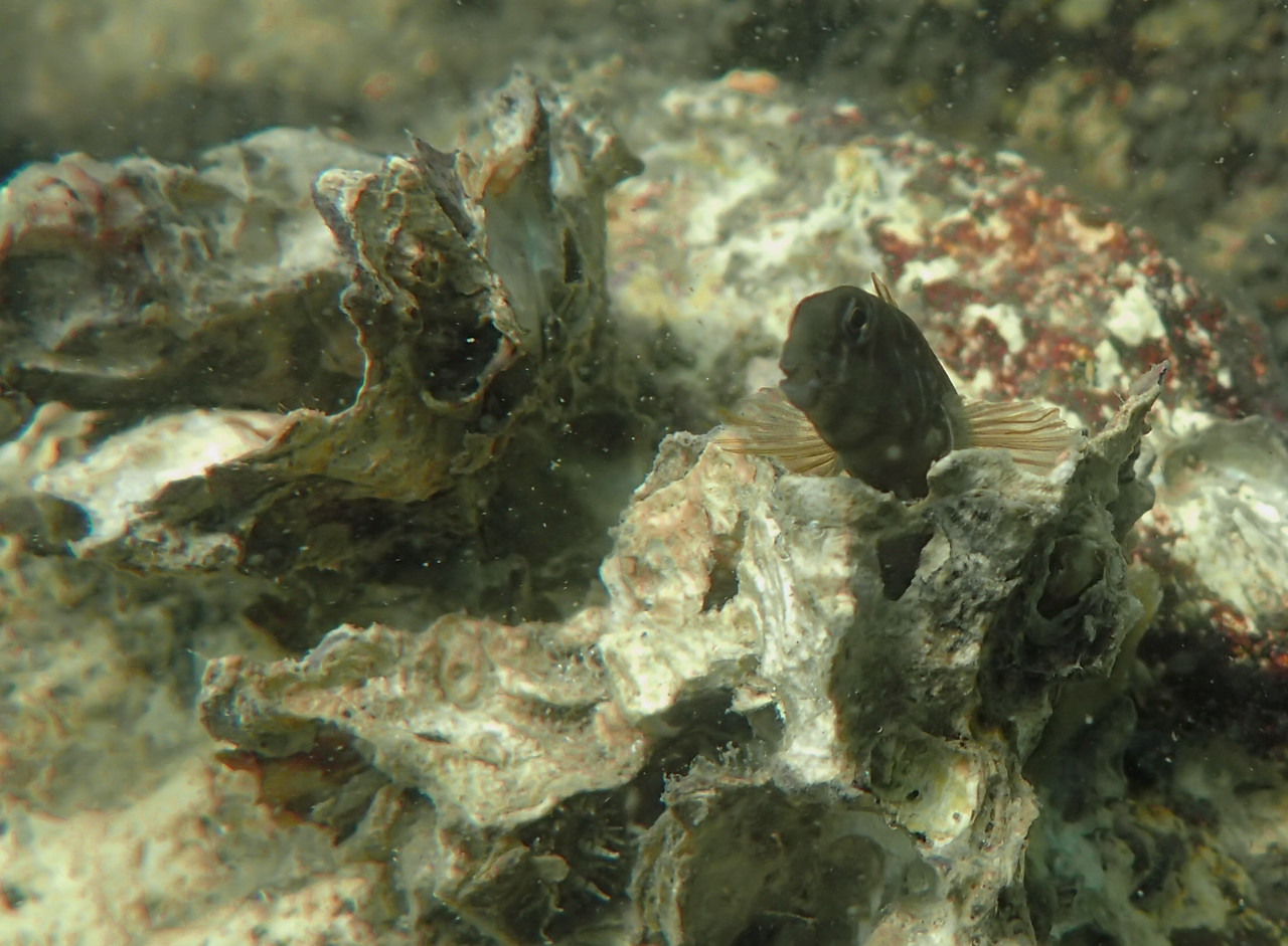 Unidentified goby with Sydney Rock Oysters, North Stradbroke Island. Photo credit - Andrew Ball.