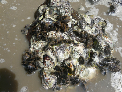 Sydney rock oyster and hairy mussel clump