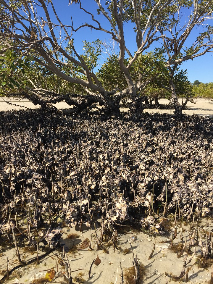 Mangroves are great natural structures for oysters