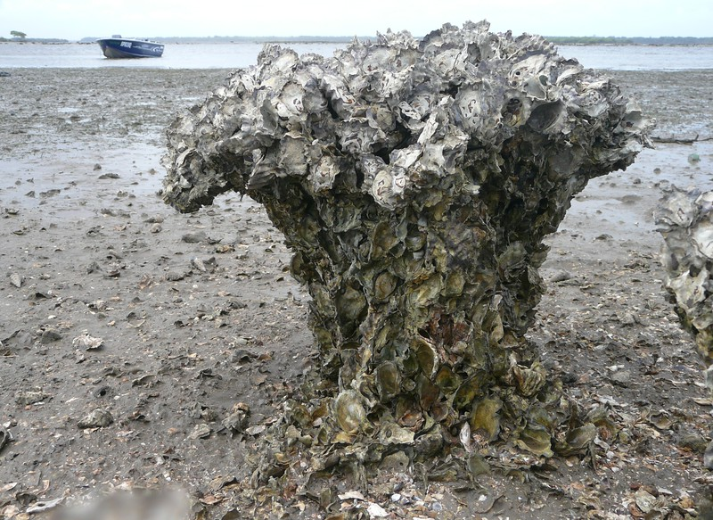Sydney Rock Oyster Decaying Clump