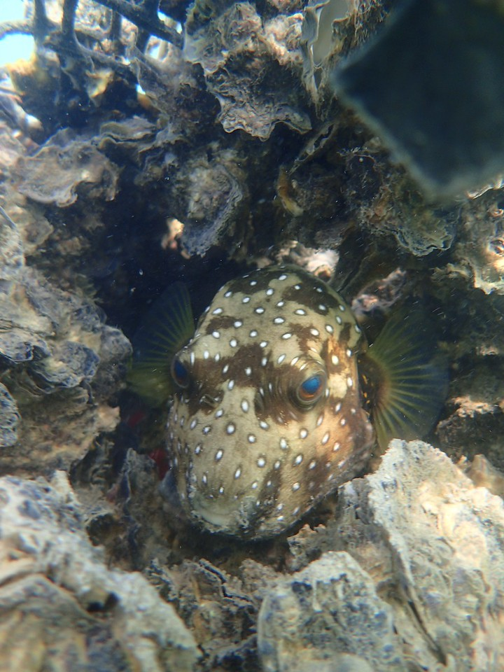 Sydney rock oyster aquaculture with white spotted puffer fish