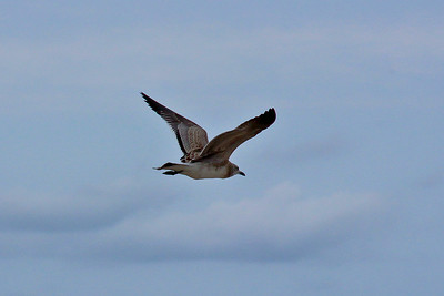 Seagull 8/23/14  Virginia Beach, Virginia