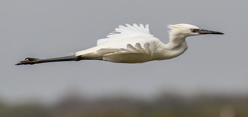 Reddish egret, Egretta rufescens