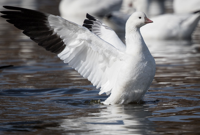 Ross's goose, Chen rossii