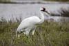 Whooping crane, Grus americana