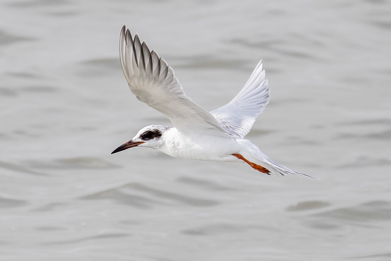 Forster's Tern, Sterna forsteri, first winter