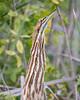 American bittern, Botaurus lentiginosus