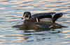 Wood duck, Aix sponsa