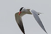 Caspian tern, Sterna caspia