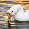 Domestic swan goose, Anser cygnoides