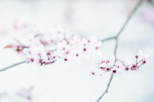 Cherry-7