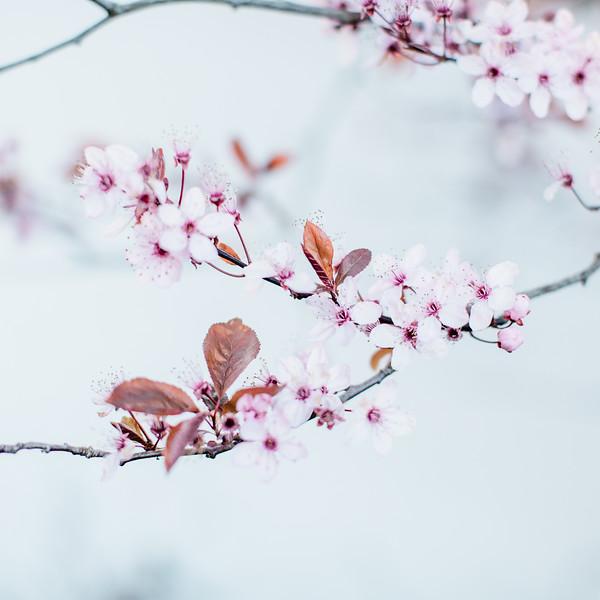 Cherry-10