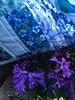 """blue"" hyacinths with Blue Floral Nostalgia"