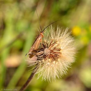Geflügeltes Insekt