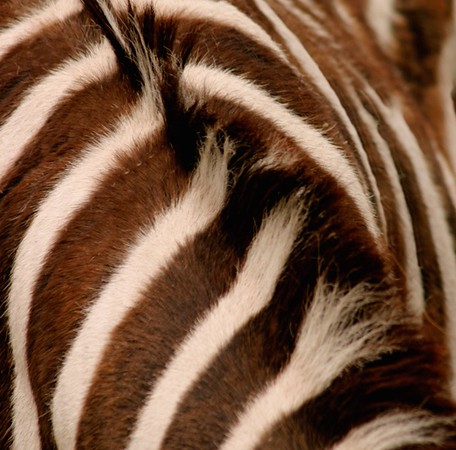 Brown Zebra (Equus)