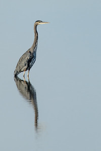 Heron at Quivira National Wildlife Refuge