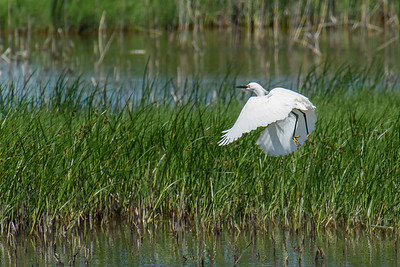 Snowy Egret launching
