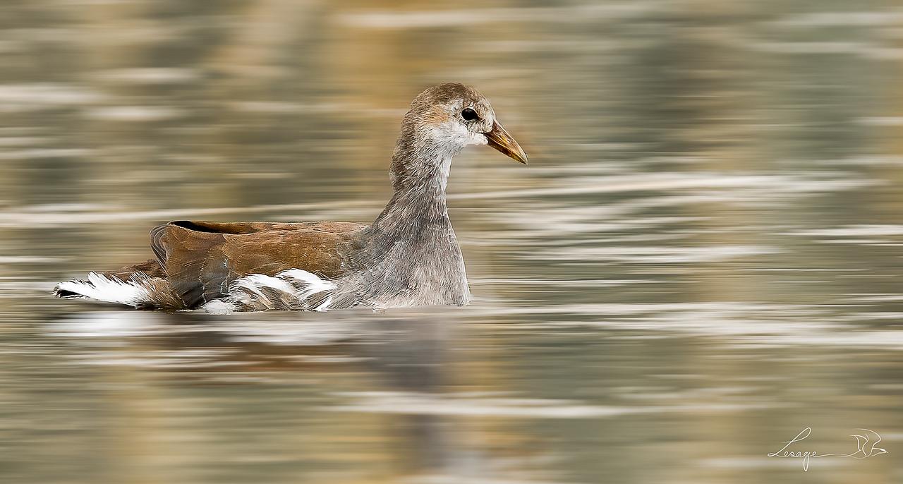 Gallinule juvénile, poule d'eau juvénile, common gallinule
