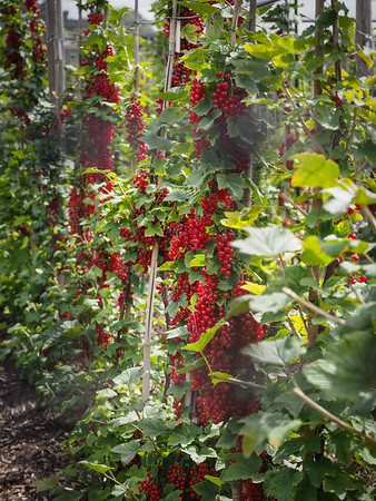 Amazing heavy crops of Redcurrant's.