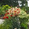 Oriental and Asiatic Lilly in full bloom.